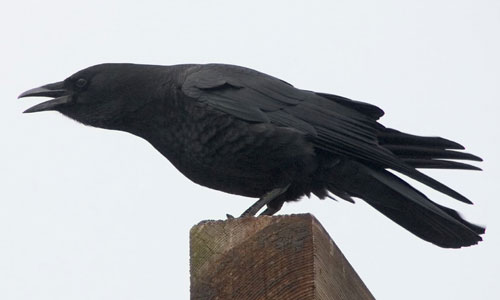 Crow, not in a can